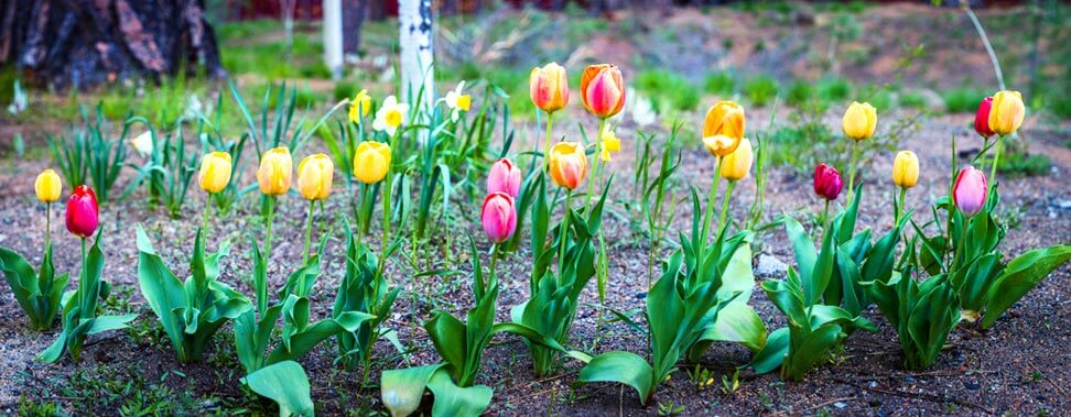 hg_ahc_tahoe-senior-plaza_home_location-and-contact_tulips.jpg